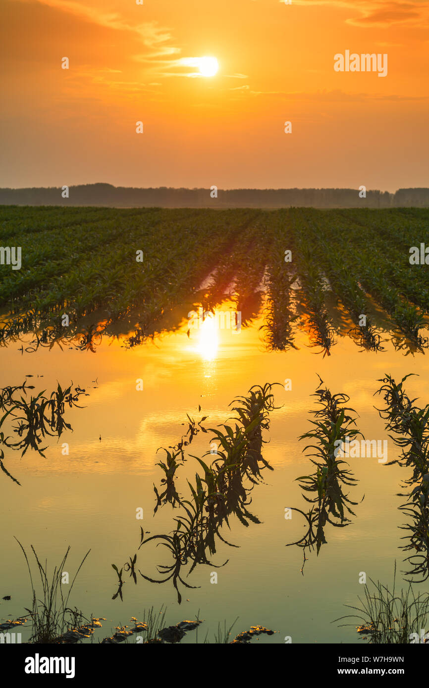 Flooded young corn field plantation with damaged crops in sunset after severe rainy season that will impact the yield of cultivated plant Stock Photo