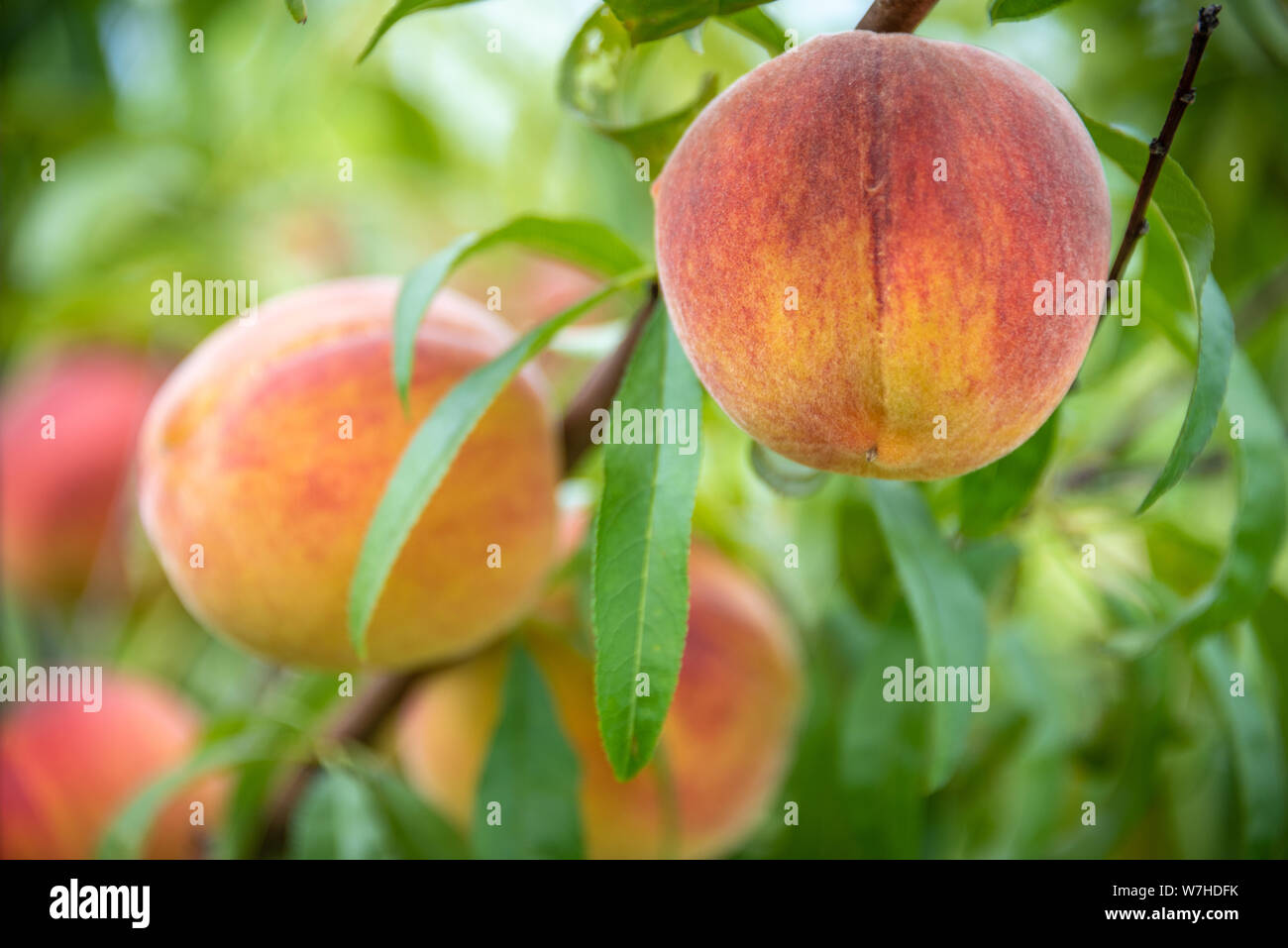 Georgia Peach Tree Stock Photos & Georgia Peach Tree Stock