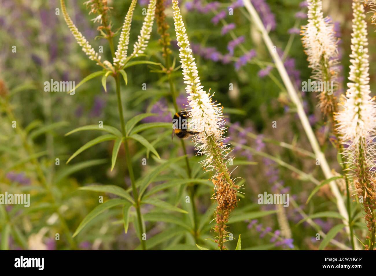 Bumblebee (Rhombus) collecting pollen in a garden Stock Photo