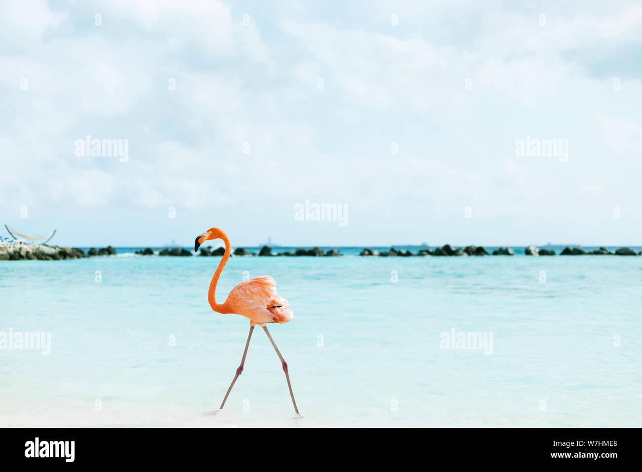 Flamingos am Flamingo Beach auf Aruba, niederländische Antillen, Flamingo am Strand Stock Photo