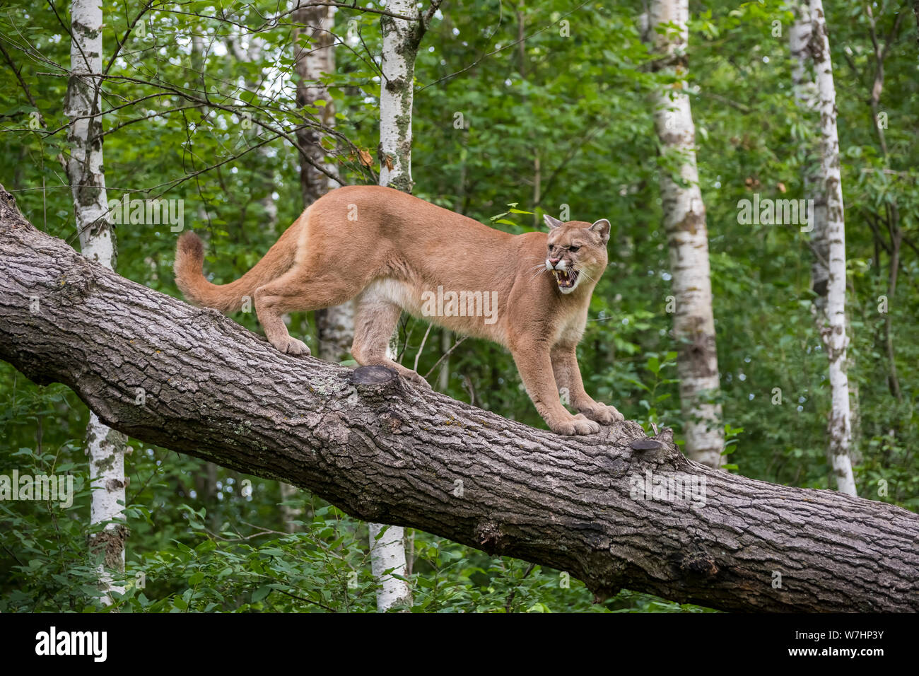 Snarling Mountain Lion climbing Down a Leaning Tree Stock Photo