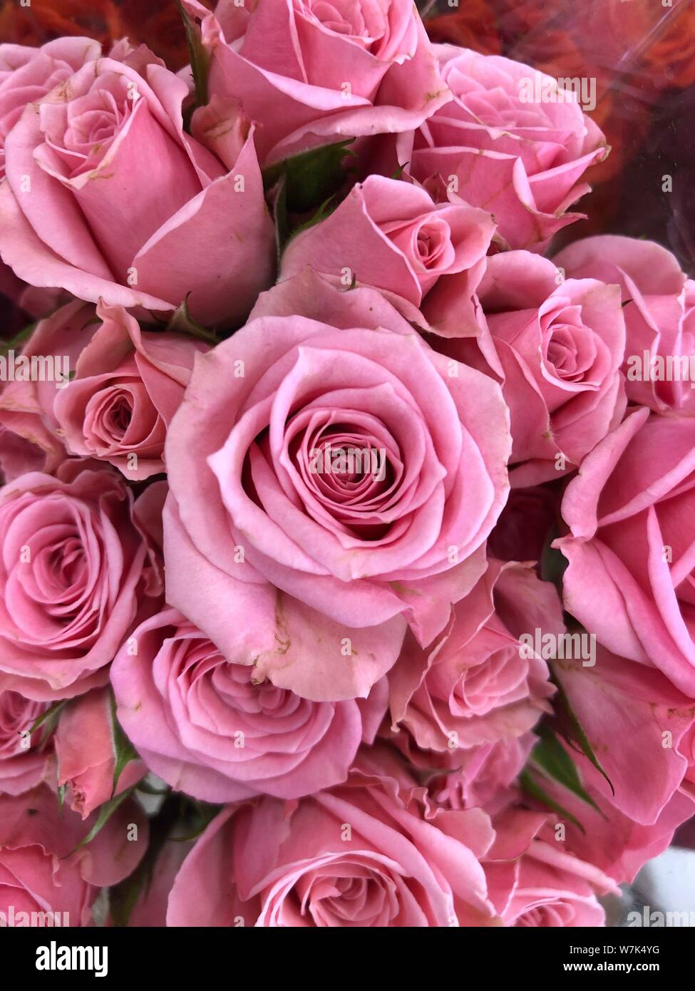 Pink Roses Background Beautiful Flowers Wallpaper Crop Image For