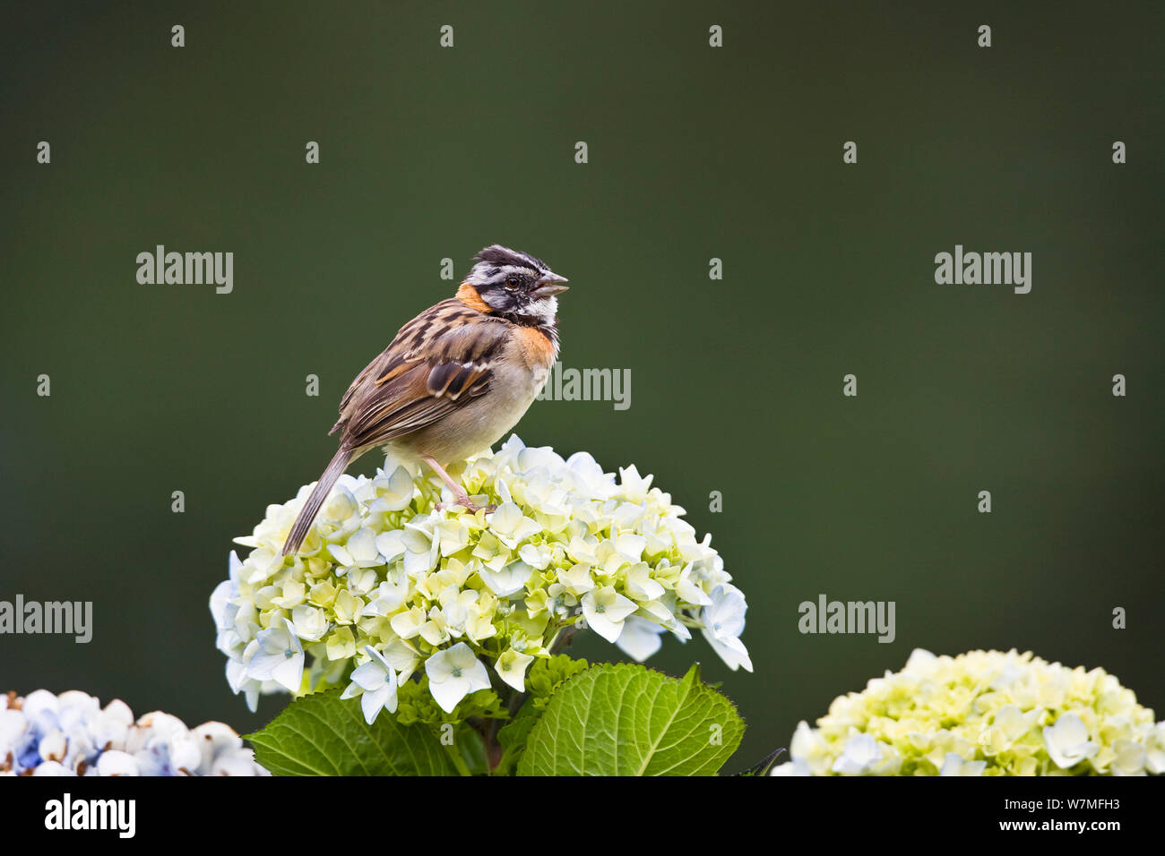 Rufous collared Sparrow (Zonotrichia capensis) singing, Costa Rica Stock Photo