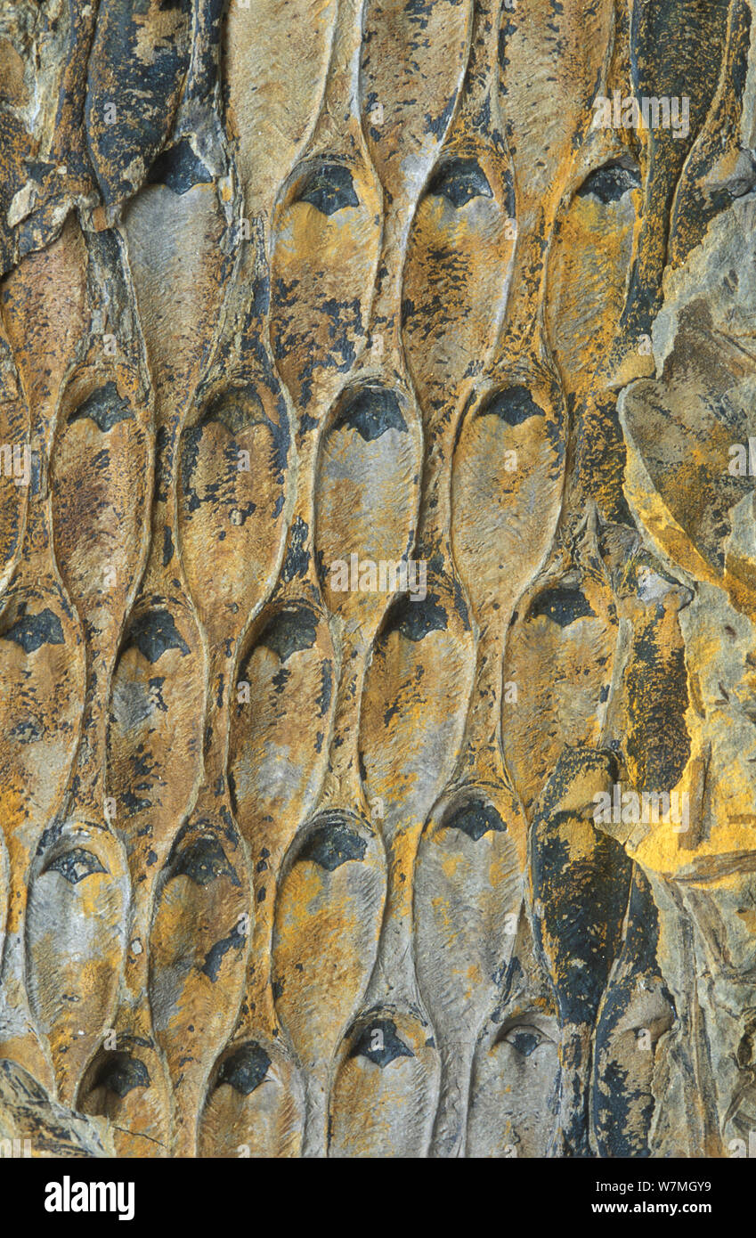 Fossil of Scale tree (Lepidodendron) from the carboniferous period, Guadiato, Spain Stock Photo