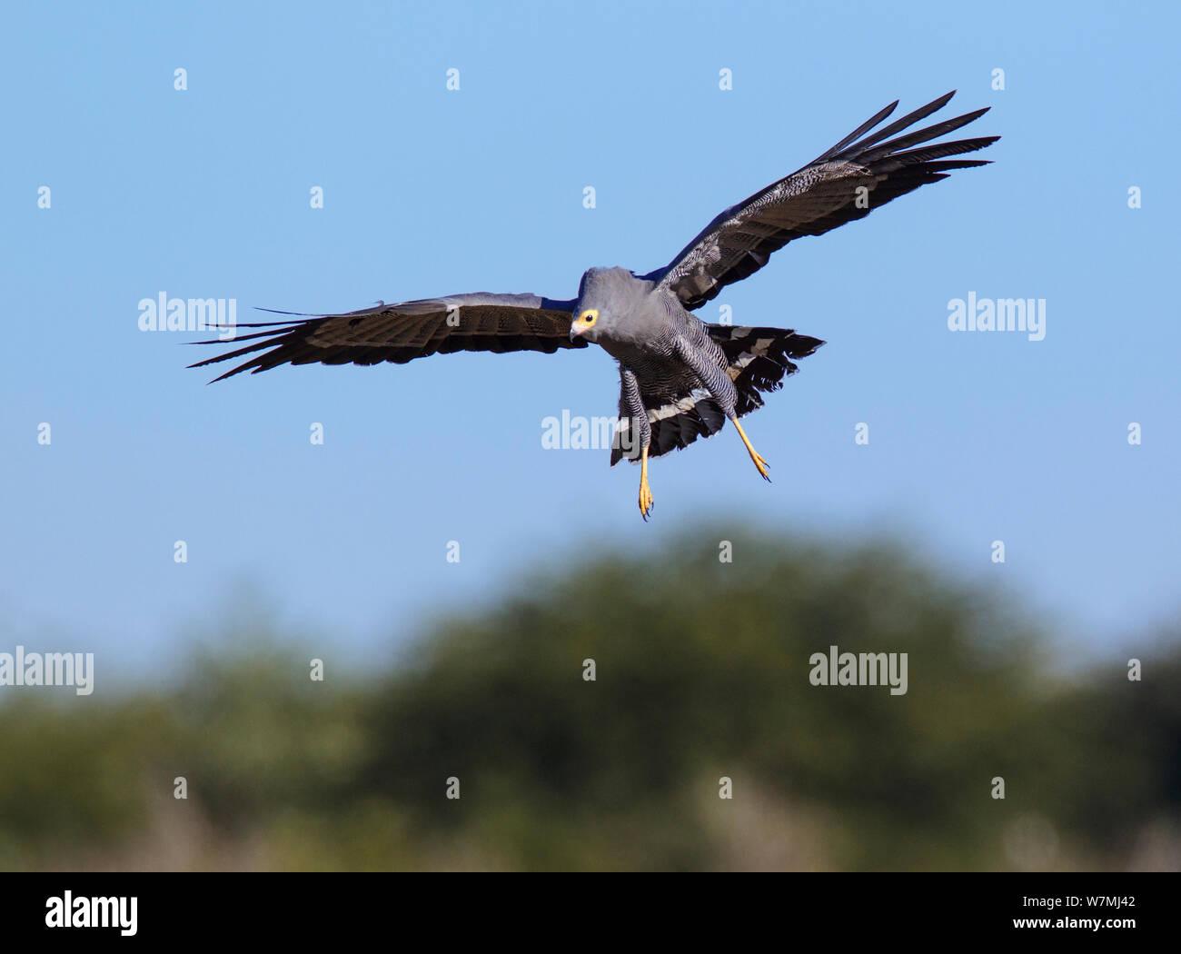 African harrier hawk / Gymnogene (Polyboroides typus) Etosha National Park, Namibia Stock Photo