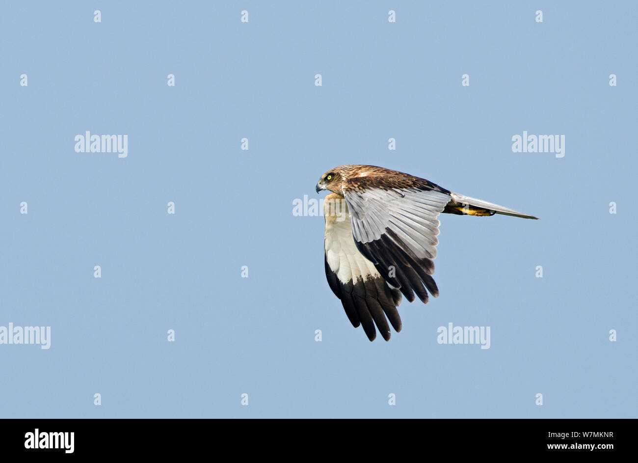 Marsh Harrier (Circus aeruginosus) male in flight showing wing plumage. Woodwalton Fen, Cambridgeshire Fens, England, March. Stock Photo