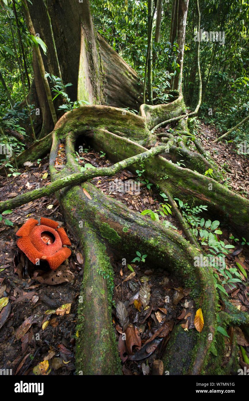 Flower of locally endemic Rafflesia (Rafflesia tengku-adlinii), flower diameter 22cm, blooming amongst the tangled giant buttress roots of (Shorea sp) on forest floor within lowland Dipterocarp rainforest, Maliau Basin, Sabah's 'Lost World', Borneo 2012 Stock Photo
