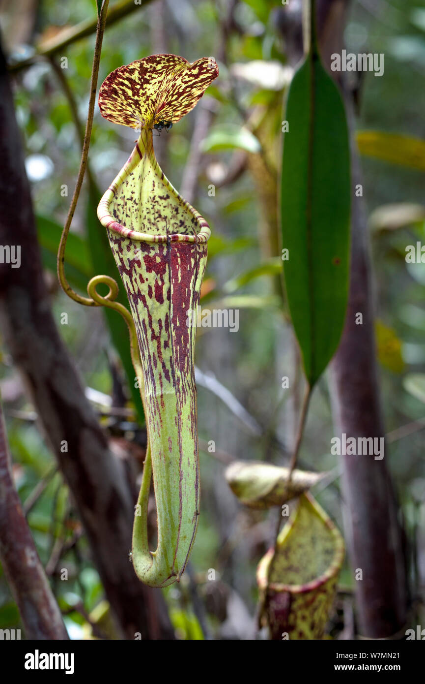 Large aerial pitcher of Pitcher Plant (Nepenthes stenophylla) in montane mossy heath forest or 'kerangas', southern plateau, Maliau Basin, Sabah's 'Lost World', Borneo Stock Photo