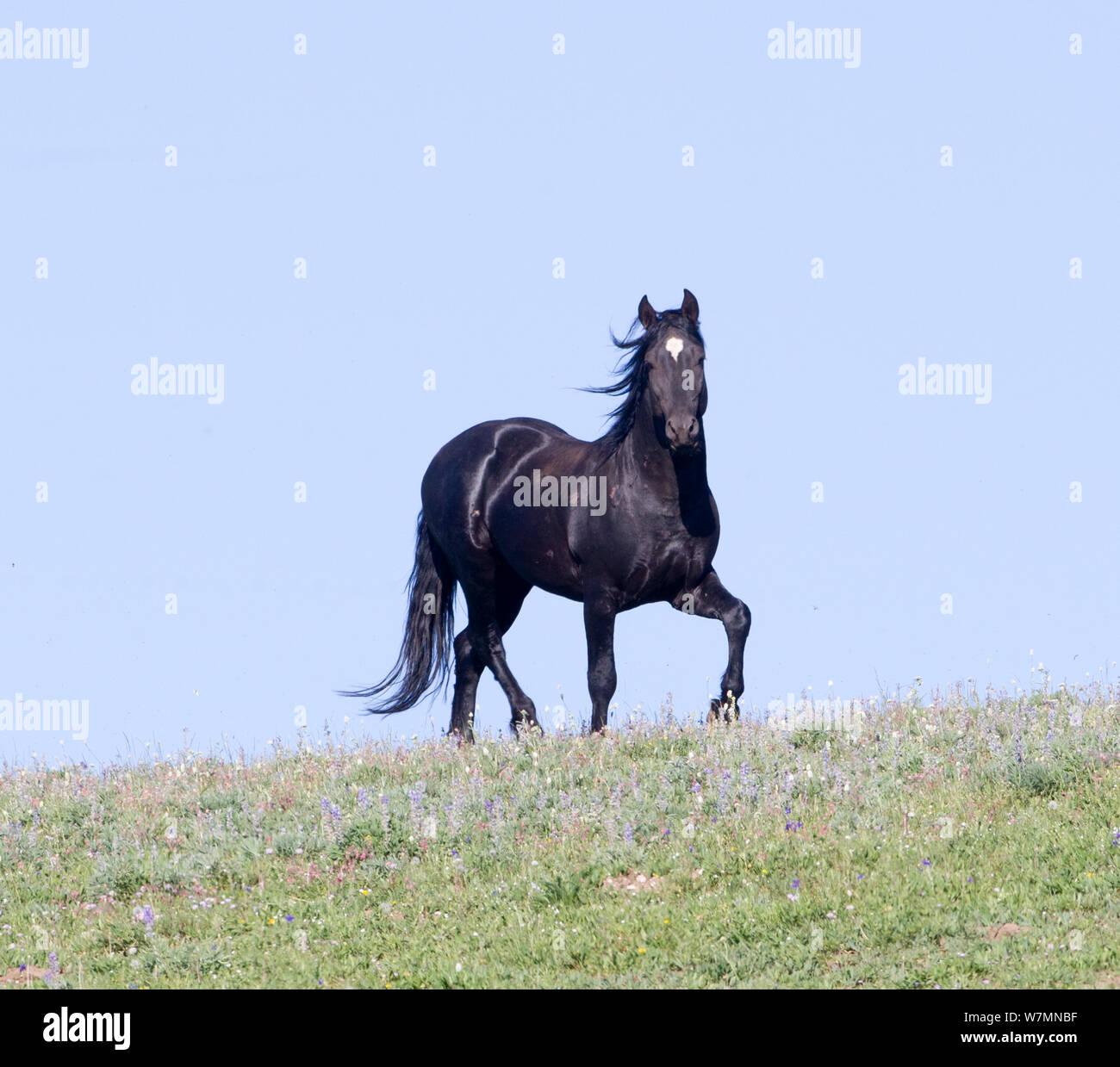 Wild Horse Mustang Equus Caballus Black Stallion On Horizon Pryor Mountains Montana Usa Stock Photo Alamy