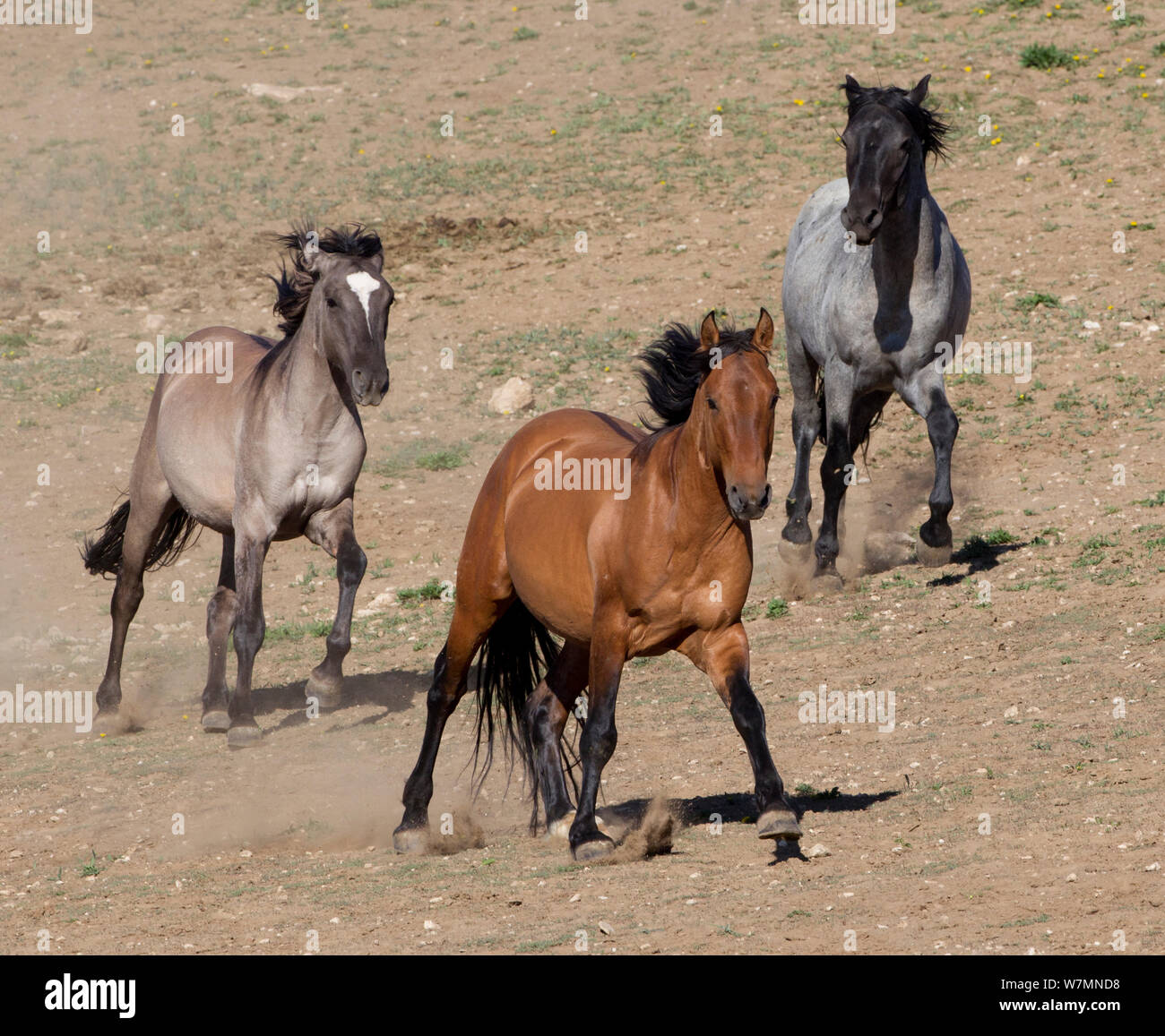 Wild Horse Mustang Three Horses Running Pryor Mountains Montana Usa Stock Photo Alamy