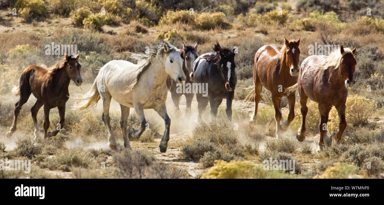 Mustangs Wild Horses Herd Running Adobe Town Wyoming Usa Stock Photo Alamy