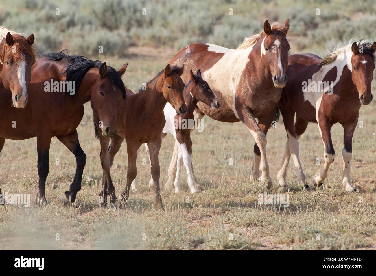 Wild Horses Mustangs Herd With Foals Mccullough Peaks Wyoming Usa Stock Photo Alamy