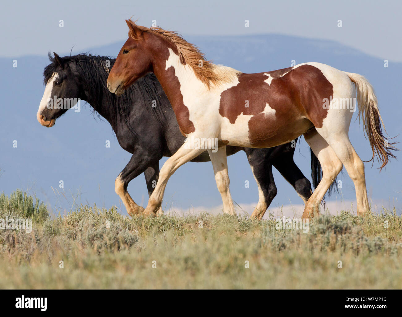 Wild Horses Mustangs Black And Pinto Walking Together Mccullough Peaks Wyoming Usa Stock Photo Alamy