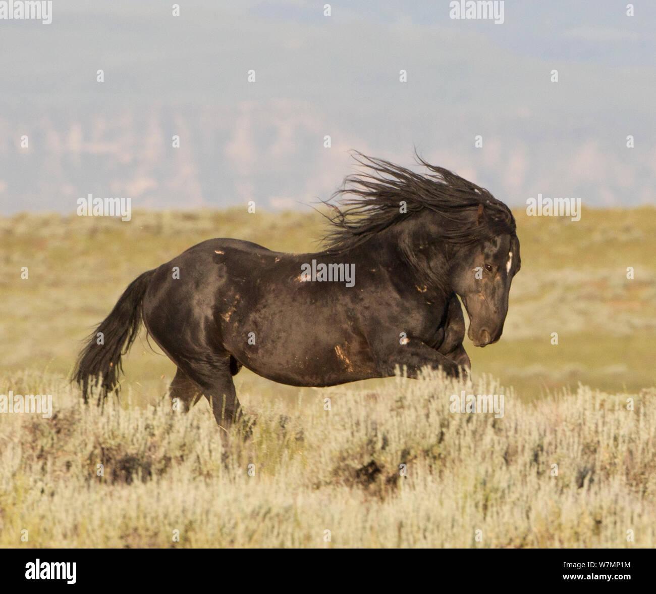 Wild Horses Mustangs Black Stallion Mccullough Peaks Wyoming Usa Stock Photo Alamy