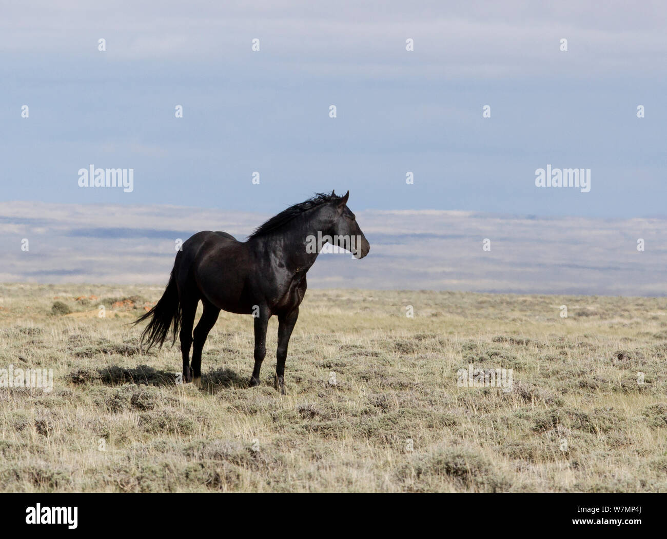 Mustangs Wild Horses Black Stallion Great Divide Basin Wyoming Usa Stock Photo Alamy