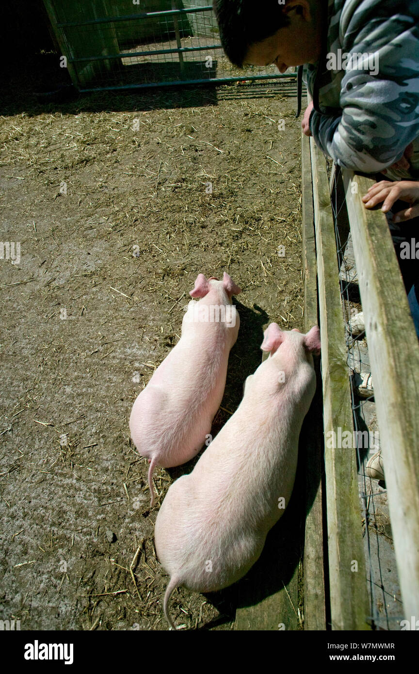 Teenagers looking at two young piglets in community city farm, Swansea, Wales, April 2009. Stock Photo