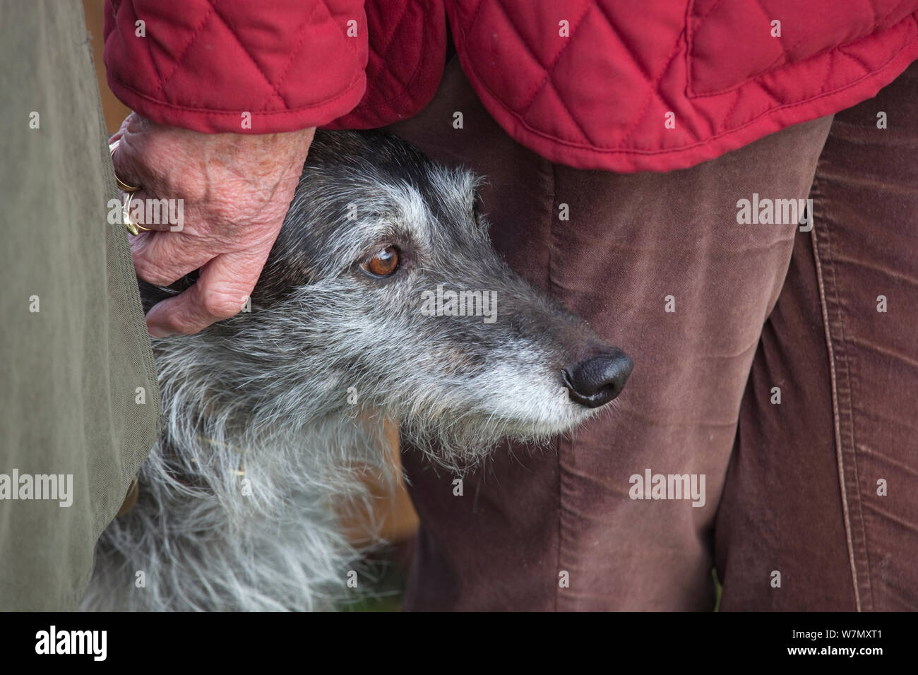 Portrait of Lurcher dog standing close to owner, UK, February. Stock Photo