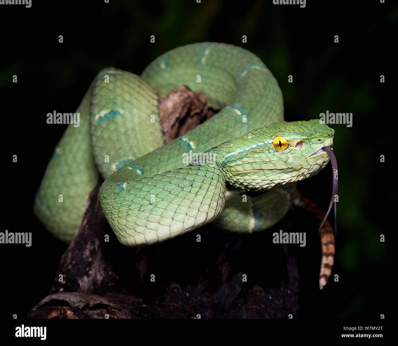 Venomous Snakes Of Malaysia Stock Photos & Venomous Snakes