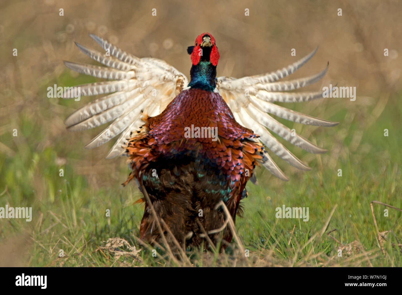 Pheasant (Phasianus colchicus) male displaying Wales, UK March Stock Photo