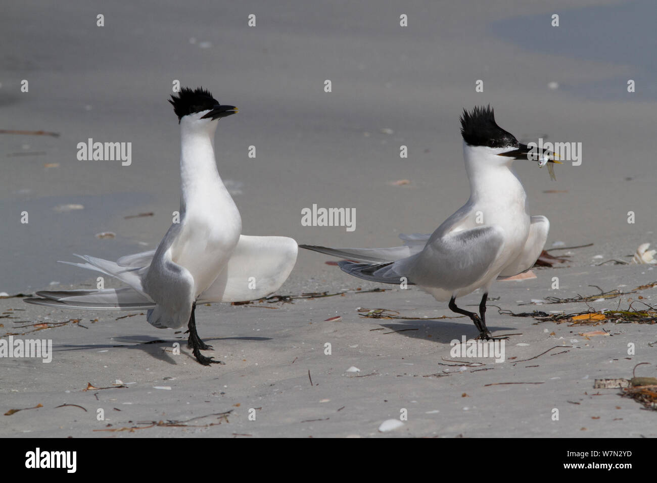 Sandwich Terns (Thalasseus sandvicensis) on sandy, Gulf of Mexico beach; male with a small fish, probably a Scaled Sardine, which it will eventually offer to a female as part of courtship ritual. St. Petersburg, Florida, USA, April. Stock Photo