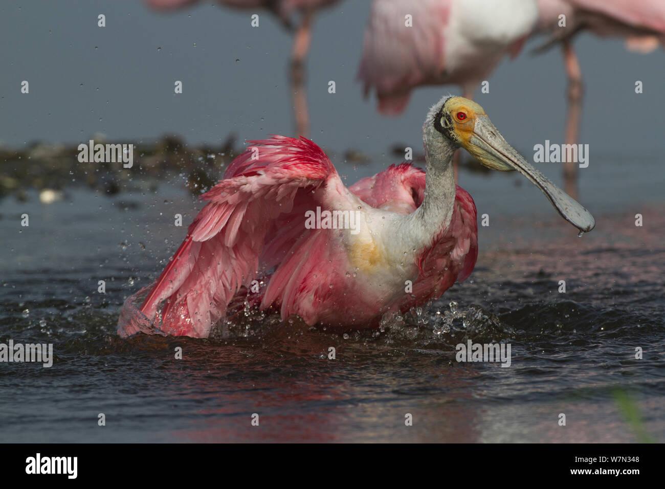 Adult Roseate Spoonbill (Platalea ajaja) in breeding plumage, bathing. Sarasota County, Florida, USA, April. Stock Photo