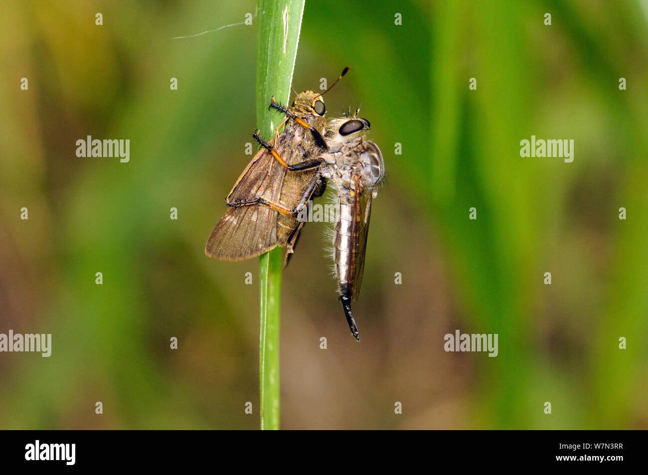 Robberfly (Asiidae) with a captured skipper butterfly (Hesperidae), Manabi Province, Ecuador. Stock Photo