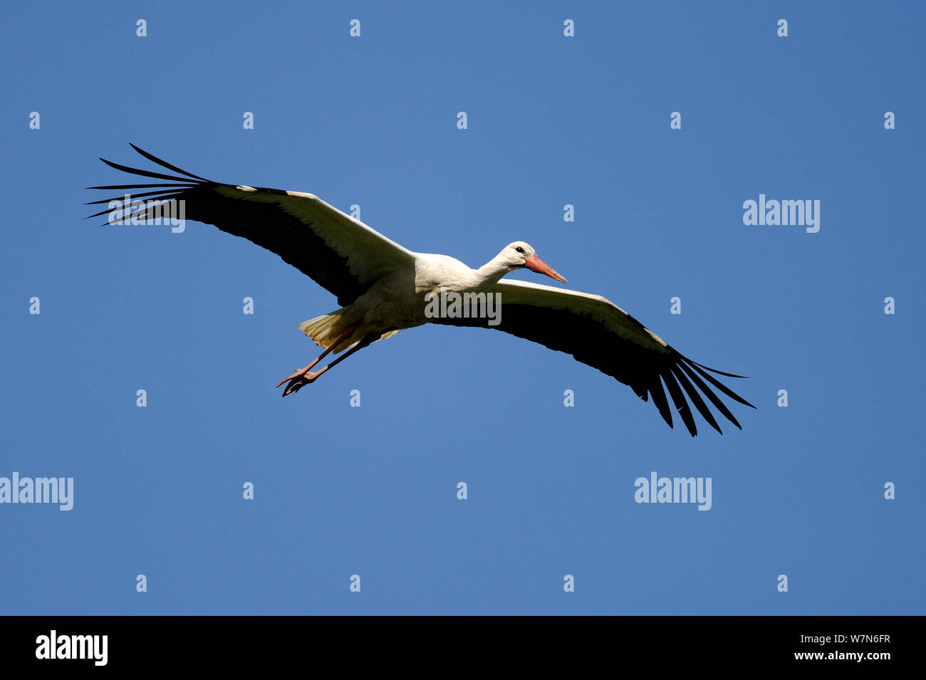 White stork (Ciconia ciconia) flying, Alsace, France. Stock Photo