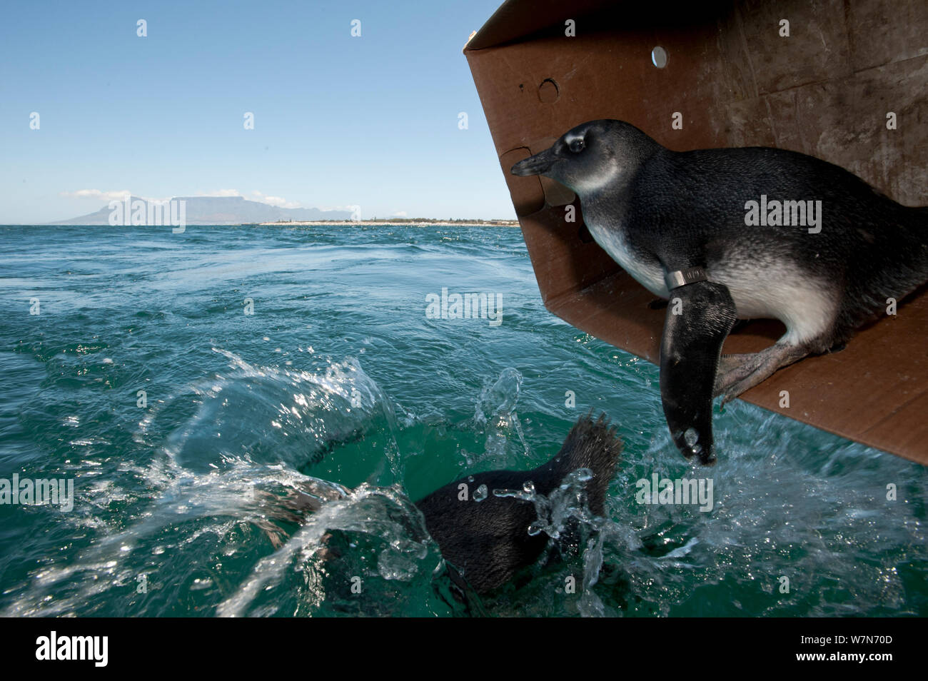 Black footed penguins (Spheniscus demersus) being released at sea near Robben Island in Table Bay after rehabilitation at Southern African Foundation for the Conservation of Coastal Birds (SANCCOB) Cape Town, South Africa Stock Photo