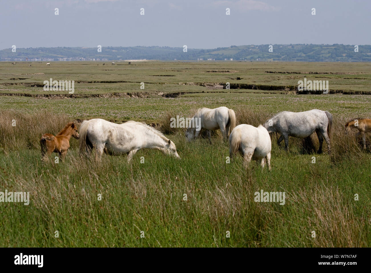 Horses and foal grazing species-rich high water line. Whitford National Nature reserve, North Gower, Wales, UK, June Stock Photo
