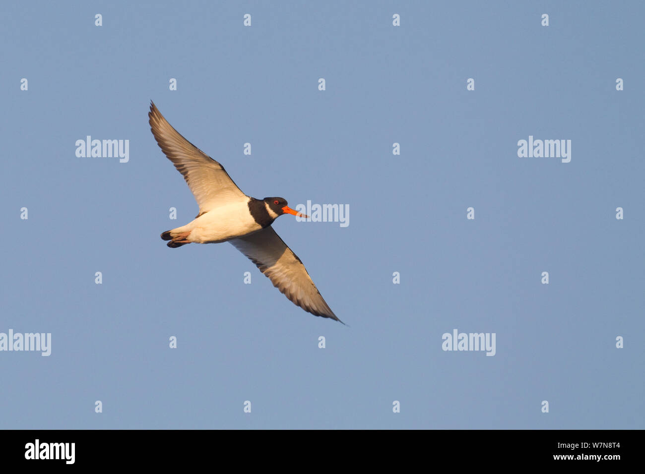 Oystercatcher (Haematopus ostralegus) in flight. The Wash Estuary, Norfolk Stock Photo