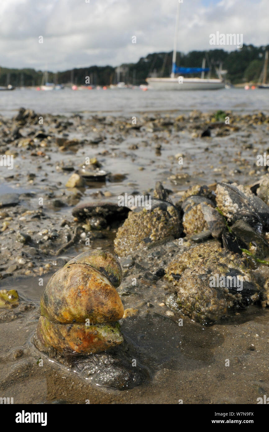 Group of American slipper limpets (Crepidula fornicata), invasive pests of oyster beds in Europe, stacked on top of one another on mudflats near barnacle encrusted Common mussels (Mytilus edulis) with moored sailing yachts in the background, Helford River, Helford, Cornwall, UK, August. Stock Photo