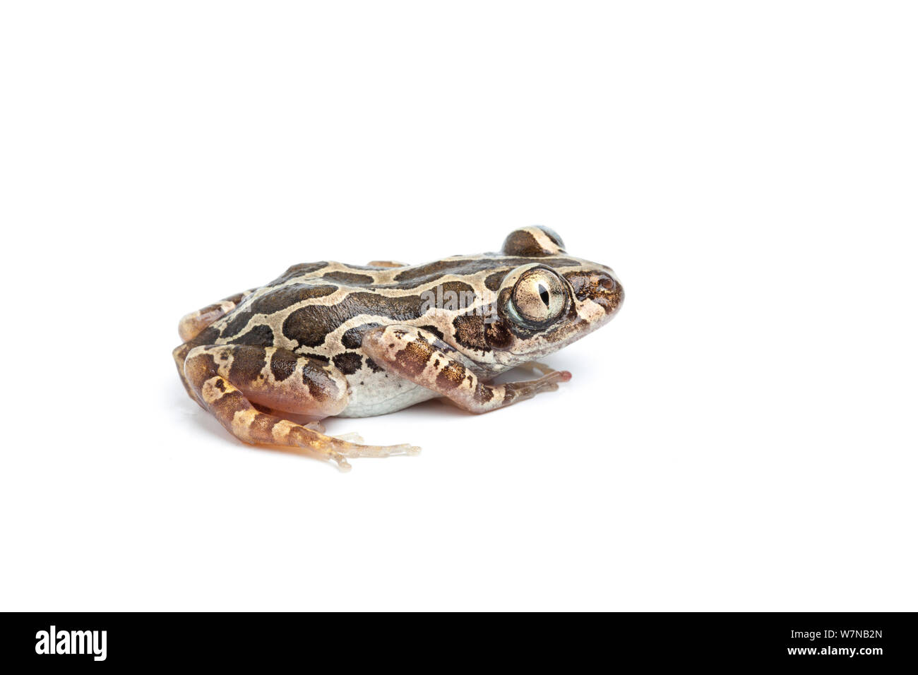 Cochran's running frog  (Kassina cochranae), captive, occurs West Africa Stock Photo