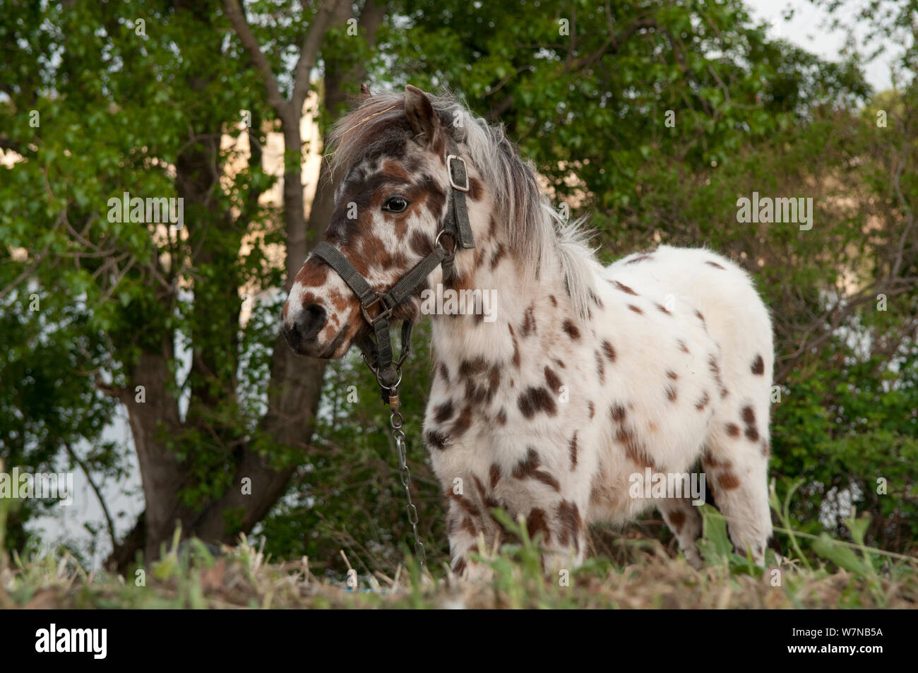 Appaloosa Horses Stock Photos & Appaloosa Horses Stock