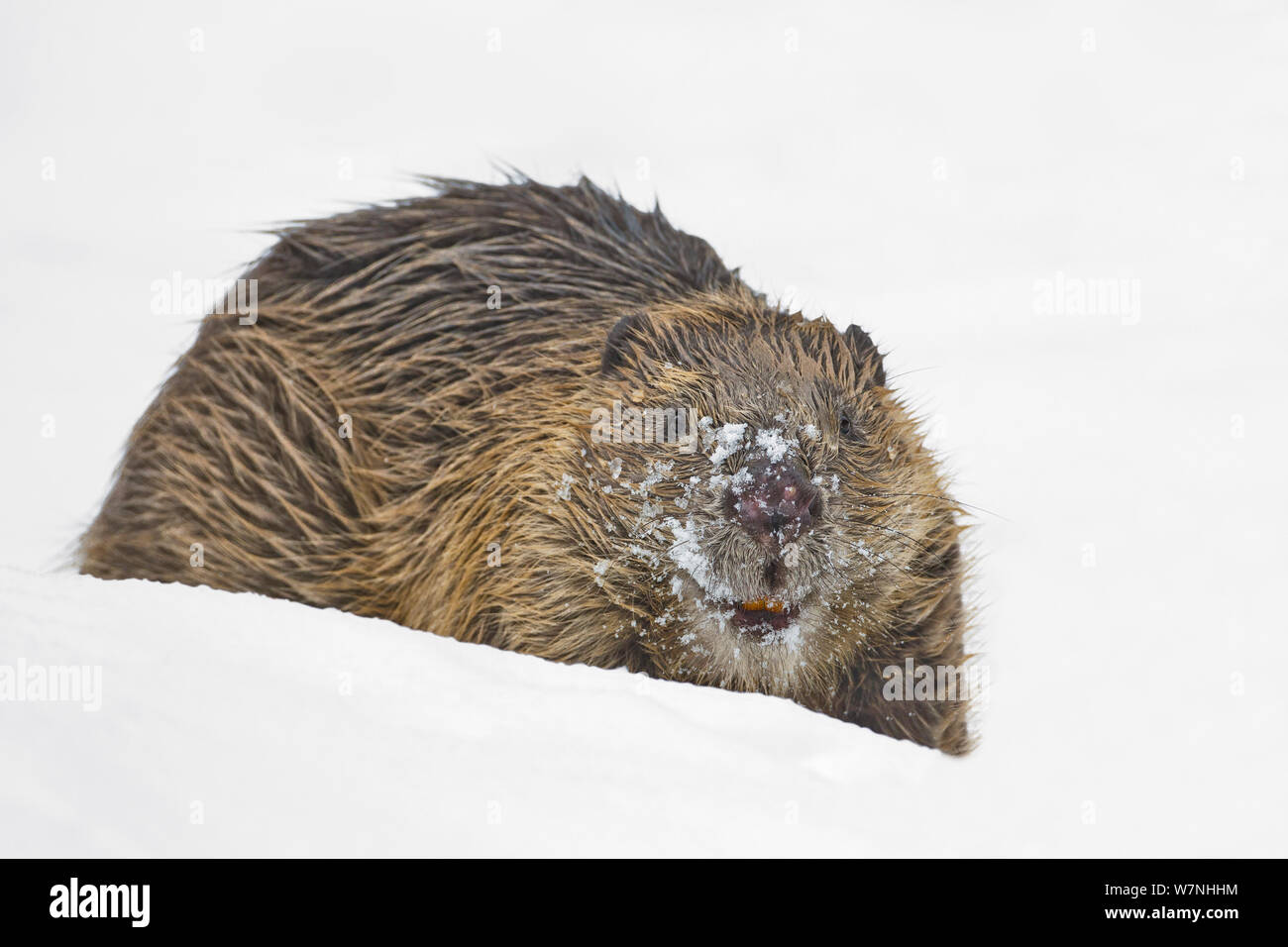 European beaver (Castor fiber) in snow. Portrait with snow covered face. Southern Norway. February. Stock Photo