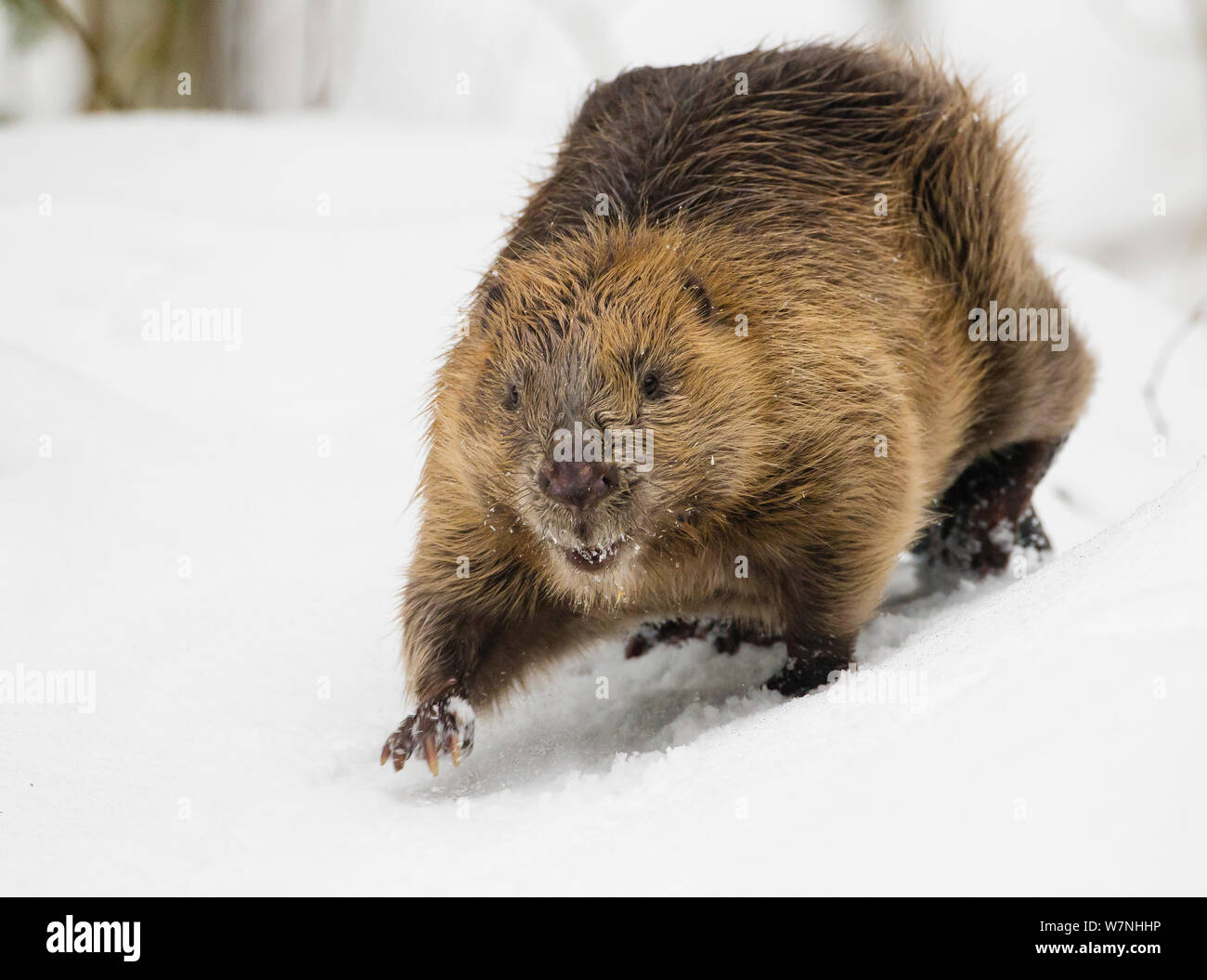 European beaver (Castor fiber) walking in snow. Southern Norway. February Stock Photo