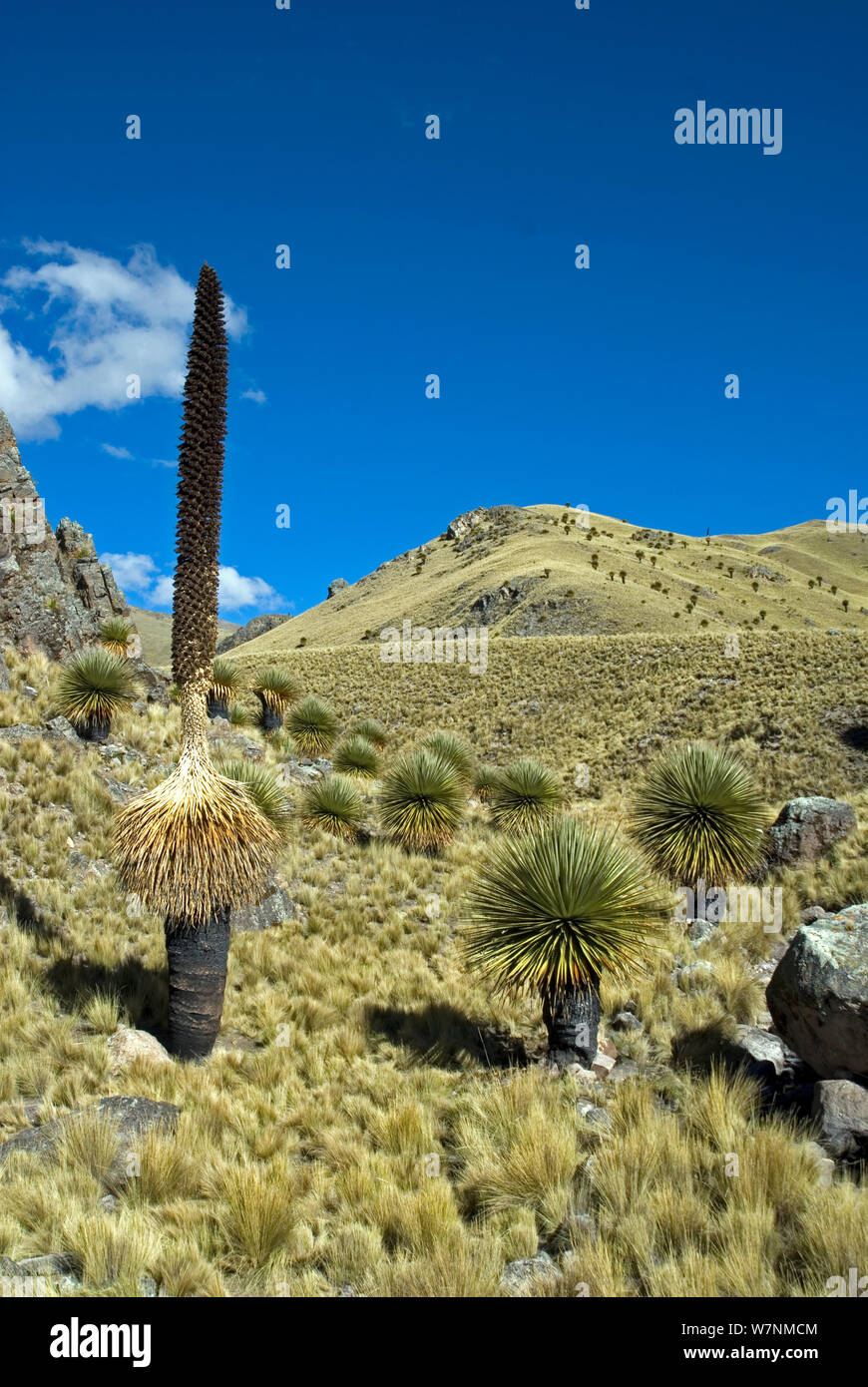 Queen of the Andes (Puya raimondii) forest, Peru. June 2012. Stock Photo