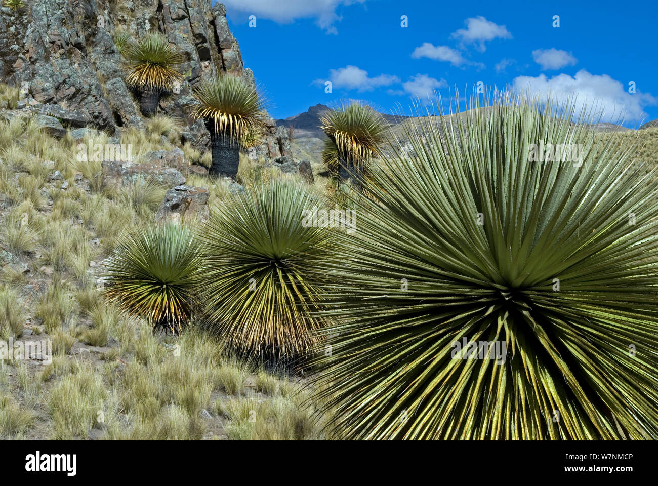 Queen of the Andes (Puya raimondii) forest. Peru. June 2012. Stock Photo