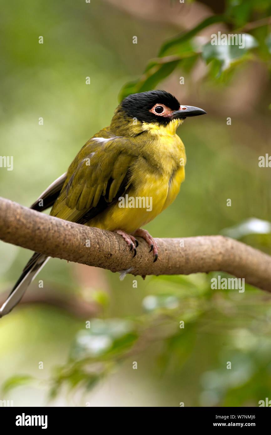 Australasian or Yellow Figbird (Sphecotheres vieilloti) Port Douglas, Queensland, Australia, captive (wild bird in rehab centre) Stock Photo