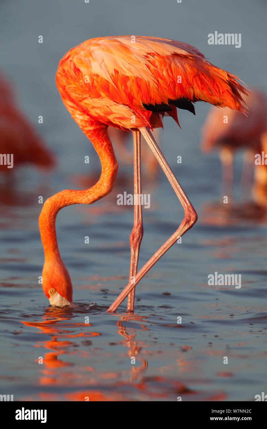 American Flamingo (Phoenicopterus ruber) feeding, Ria Lagartos Biosphere Reserve, Yucatan Peninsula, Mexico, August. Stock Photo
