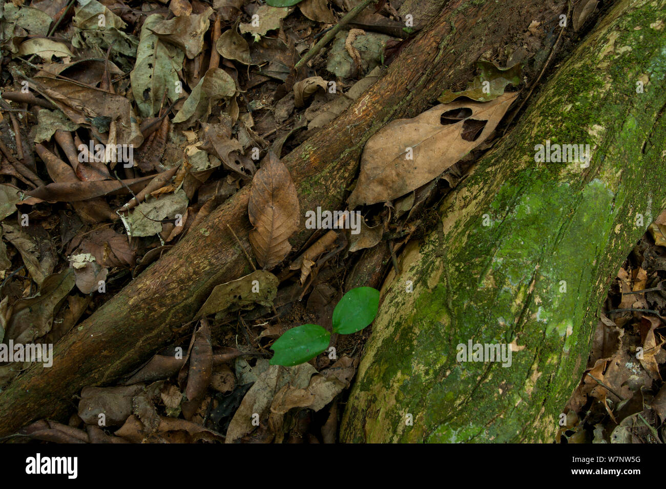 'Bodaba' leaf (Grossera macrantha) nestled against Strangler Fig tree root system and a 'Babango' seedling (Diospyros bipindensis or iturensis) Bai Hokou, Dzanga-Ndoki National Park, Central African Republic. Stock Photo