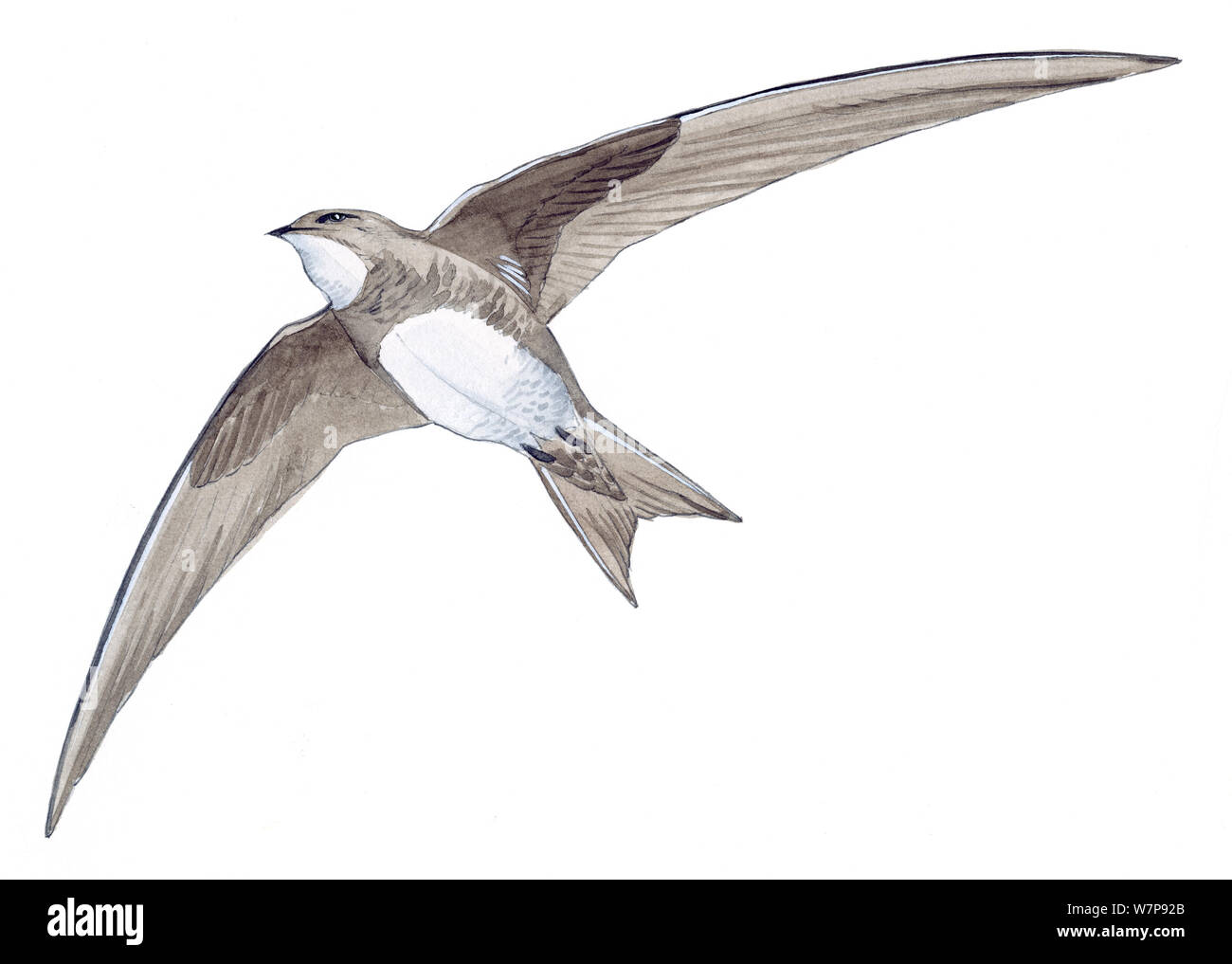 Illustration of Alpine Swift (Tachymarptis melba) in flight. Pencil and watercolor painting. Stock Photo