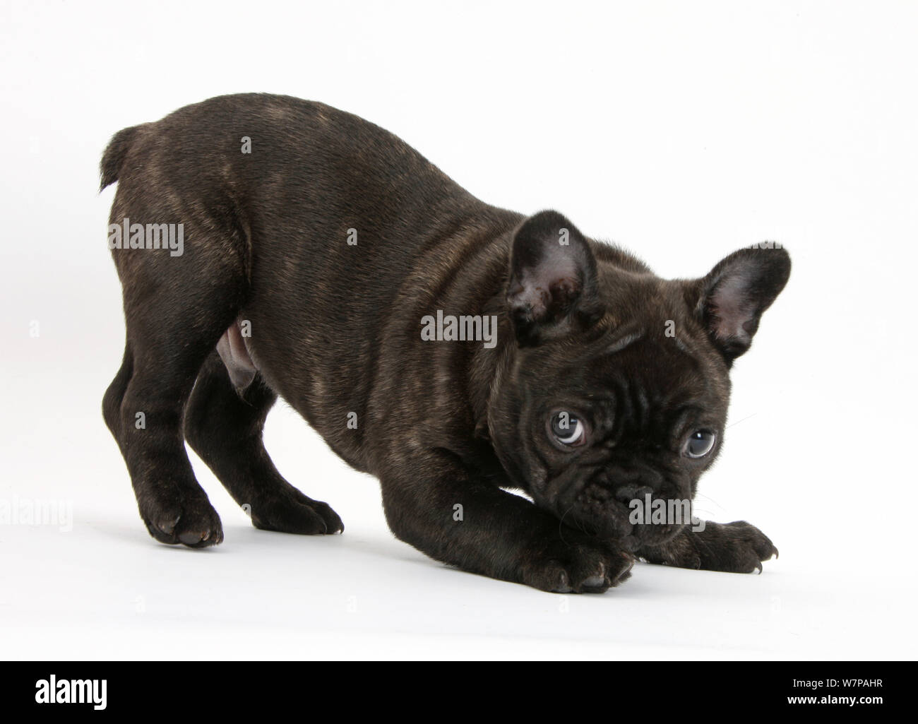 Dark Brindle French Bulldog Pup Bacchus 9 Weeks Old In Play Bow Stance Stock Photo Alamy