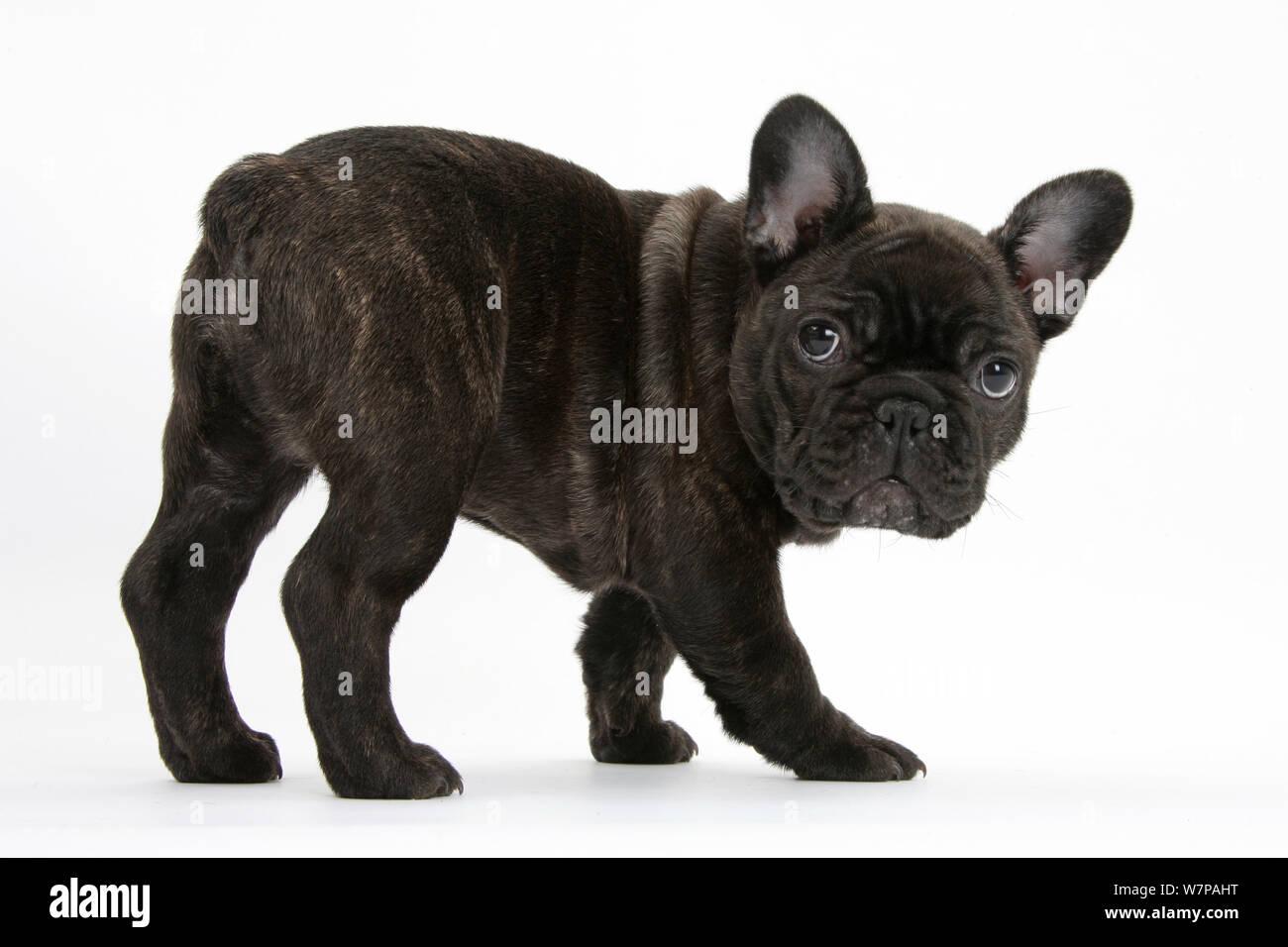 Dark Brindle French Bulldog Pup Bacchus 9 Weeks Old Stock Photo Alamy