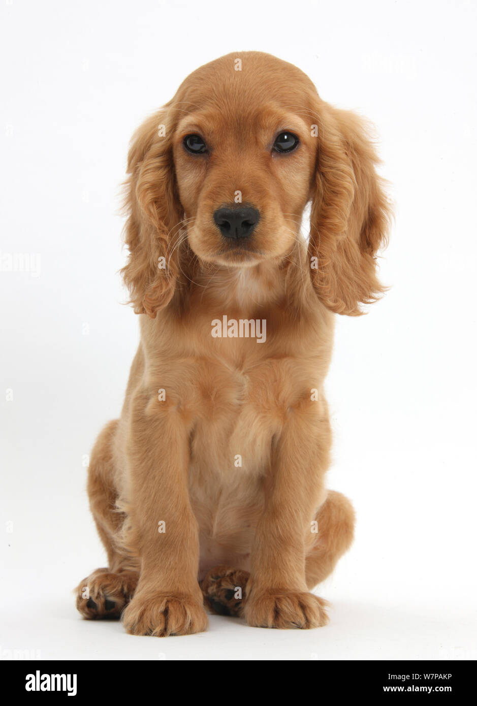 Golden Cocker Spaniel High Resolution Stock Photography And Images Alamy