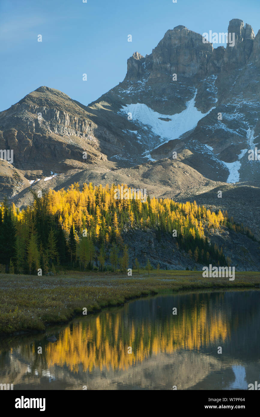 Autumn larches reflected in Gog Lake, below The Towers. Mt. Assiniboine Provincial Park, British Columbia, Canada, September 2012. Stock Photo