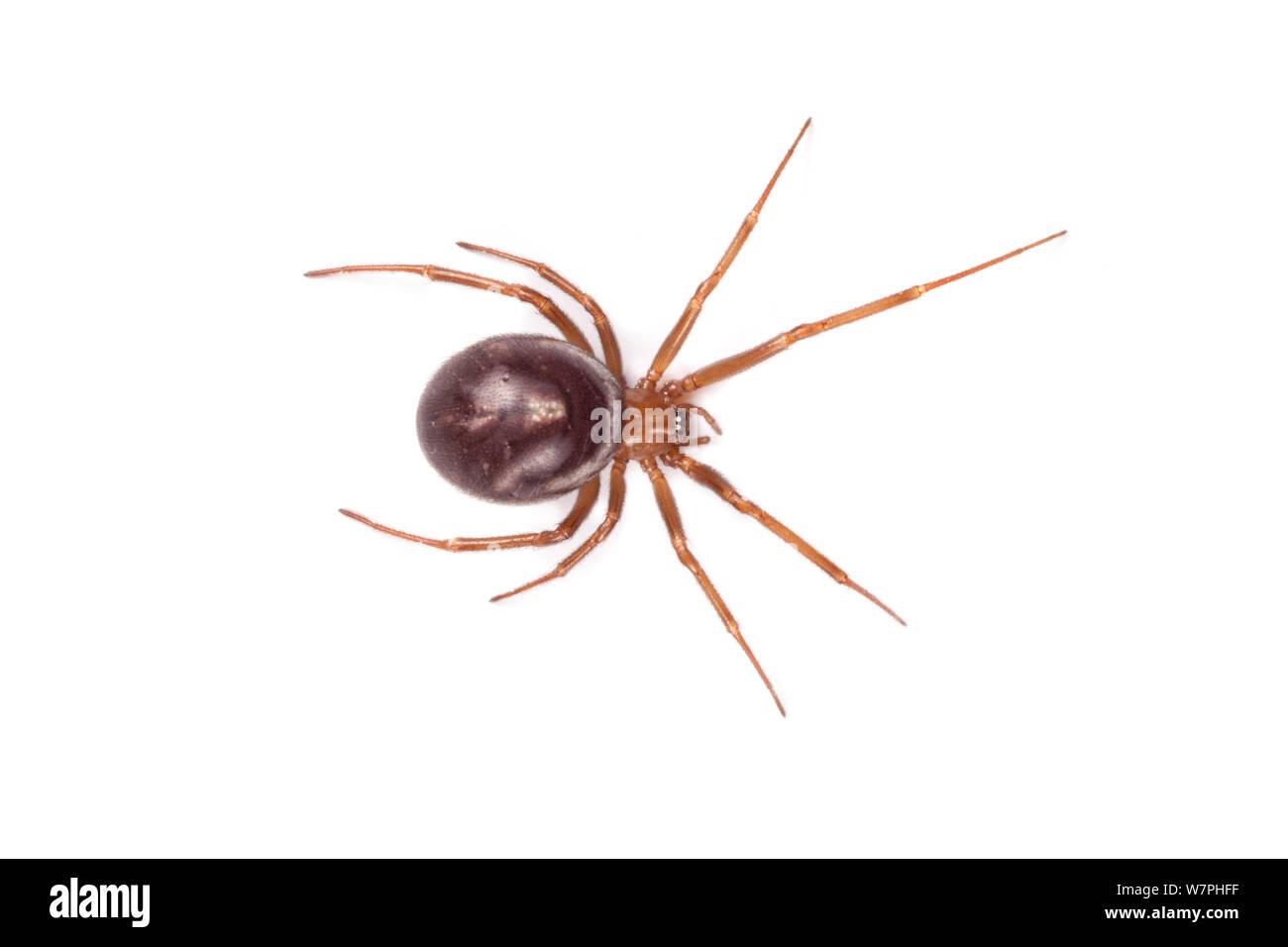 False Black Widow Steatoda Nobilis Female An Invasive Species To The Uk Stock Photo Alamy