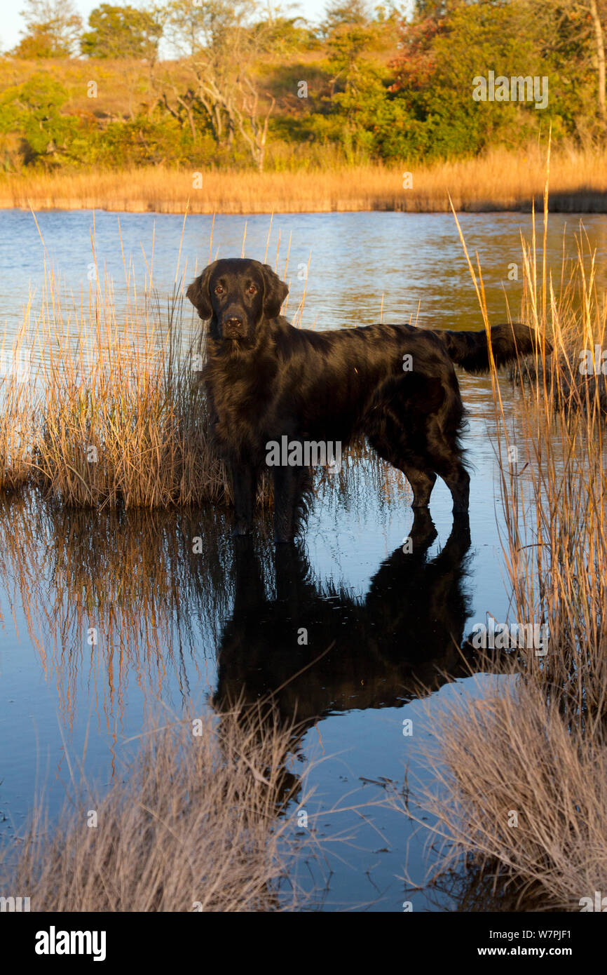 Flat-Coated Retriever in salt grass in saltmarsh; Waterford, Connecticut, USA. Non-exclusive Stock Photo