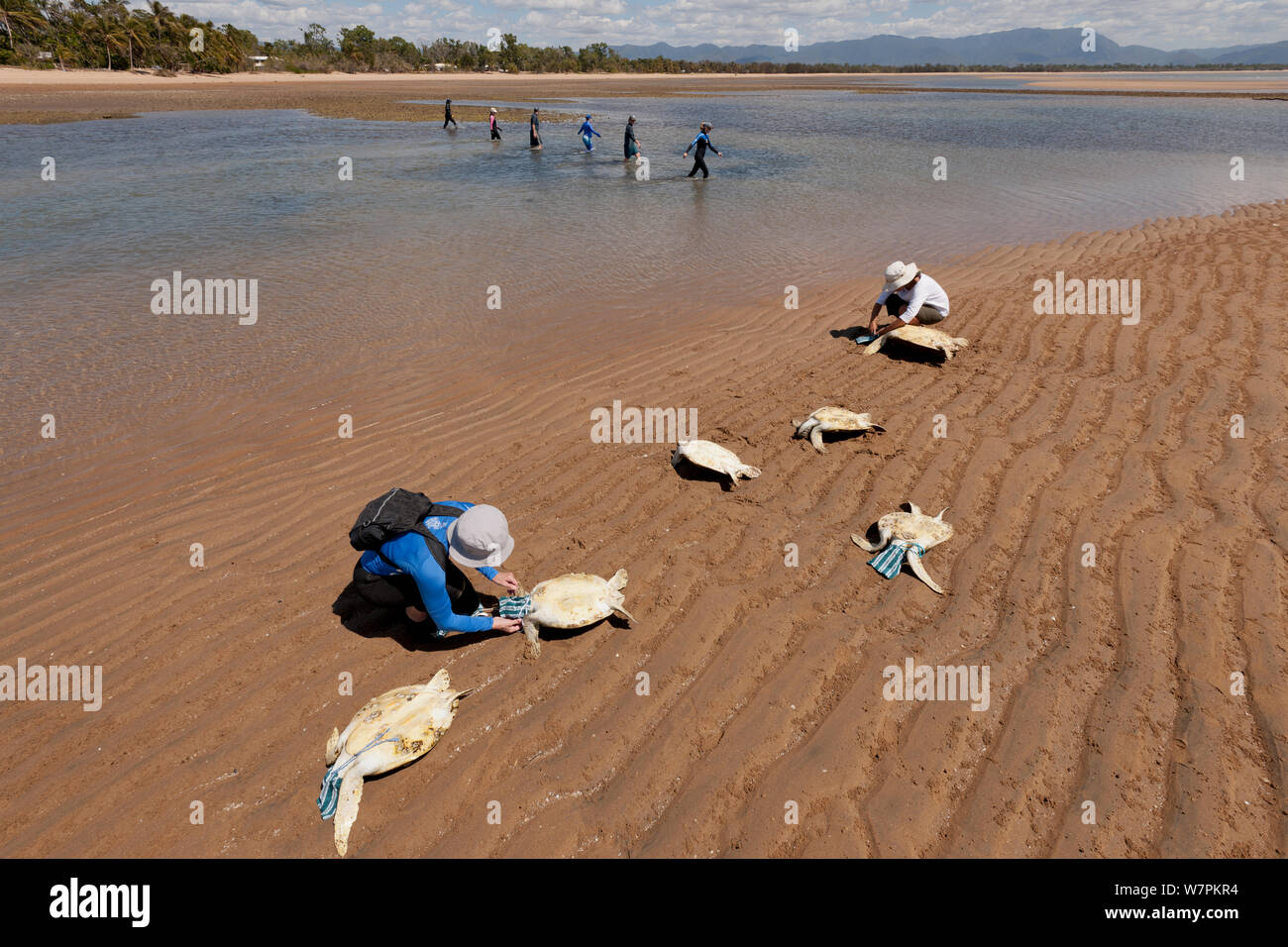 Volunteers cover the heads of newly caught green turtles with a pouch to calm them down while others sieve the water puddles for more turtles. Townsville, Queensland, Australia, August 2011 Stock Photo