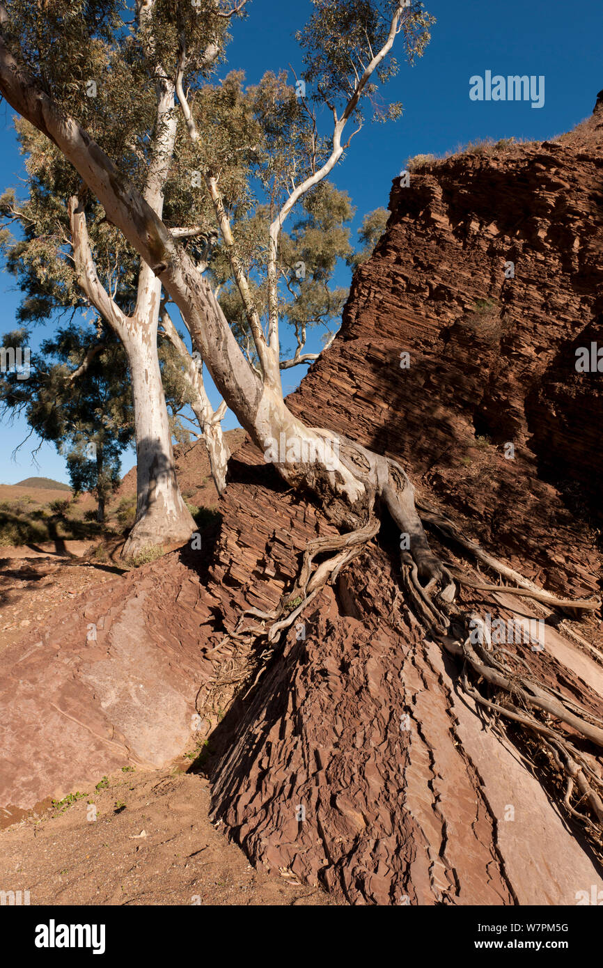 Tree growing out of striated rock on the Brachina Gorge Geological Trail, a 20km self-guided trail. Flinders Range National Park, South Australia Stock Photo