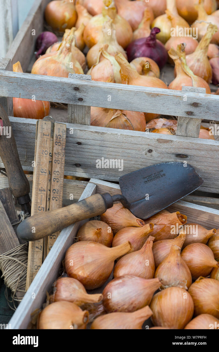 Storing Onions Stock Photos & Storing Onions Stock Images